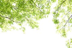 Tree with new leaves isolated over bright sky. Beautiful spring tree with new leaves isolated over bright sky background Stock Photo