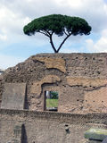 Tree next to Rome Ruins Royalty Free Stock Photo