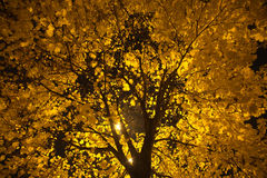 Tree in the night. Tree with lot of yellow maple leaves on branches in the night Stock Photo