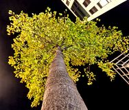Tree and nightlife. Tree in Mannheim, Germany. Hallowen Stock Photography