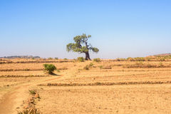 Tree in north Ethiopian mountains Royalty Free Stock Photography