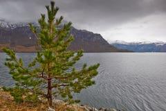 Tree in norway Stock Photos