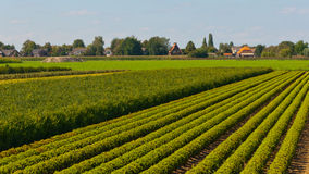 Tree nursery in the Netherlands. Dutch tree nursery in an agricultural landscape Stock Photography