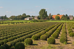 Tree nursery in the Netherlands. Dutch tree nursery in an agricultural landscape Royalty Free Stock Photos