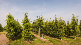 Tree nursery with oak trees. Young oak trees growing in a tree nursery Royalty Free Stock Photo