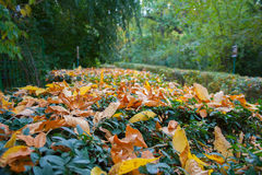 Tree nursery park in the fall. The fallen-down yellow leaves in the park Royalty Free Stock Photo