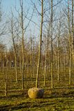 Tree nursery with young tree with root bale before transportation stock photos