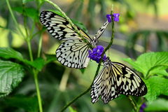Tree nymph butterflies at their table in the gardens. Royalty Free Stock Image