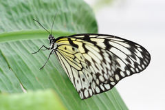 Tree Nymph Butterfly. On a leaf Stock Photo
