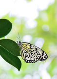 Tree Nymph butterfly Royalty Free Stock Photography