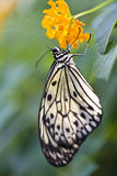 Tree Nymph Butterfly. Hanging from a flower Royalty Free Stock Photos