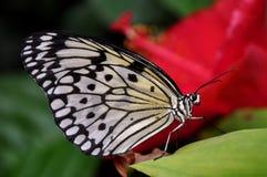 Tree Nymph Butterfly,aka,Idea leuconoe Stock Photo