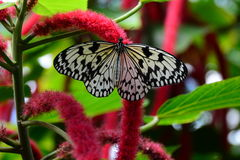 Tree Nymph Butterfly amongst Pusstails Stock Images