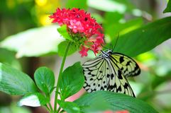 Tree Nymph butterfly on blurred background Royalty Free Stock Photo