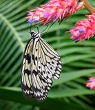 Tree Nymph butterfly Royalty Free Stock Images