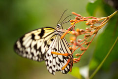 Tree Nymph Butterfly on flower Stock Photos