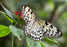 Tree Nymph Butterfly on flower Royalty Free Stock Photography
