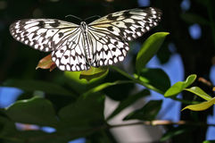 Tree Nymph Butterfly, Idea Leuconoe Stock Image