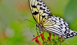 Tree Nymph Butterfly Stock Image