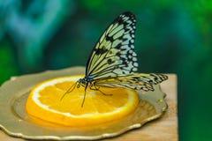 Tree nymph butterfly Idea leuconoe Stock Photos