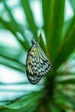 Tree nymph butterfly Idea leuconoe Royalty Free Stock Photography