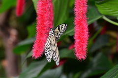 Tree Nymph butterfly Royalty Free Stock Image