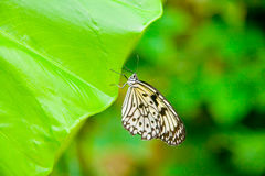 Tree Nymph butterfly on a leaf Royalty Free Stock Photography