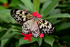 Tree Nymph Butterfly Royalty Free Stock Photos