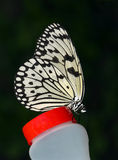 Tree Nymph Butterfly. Stock Image