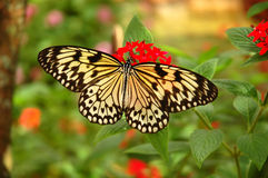 Tree nymph butterfly on a red flower. Tree nymph butterfly (rice paper, paper kite , wood nymph, Idea leuconoe) on a red flower Stock Images