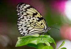 Tree Nymph or Paper Kite Butterfly Royalty Free Stock Images