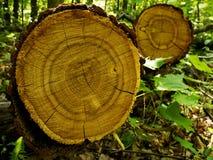 Tree Oak Cut Stock Photo