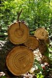 Tree  oak  cut. Prepared in wood in sunlight beams Stock Images