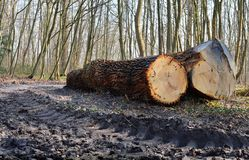 Tree oak trunks cut. In a forest for the wood industry Royalty Free Stock Image
