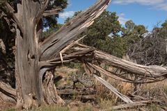 Utah juniper is the most common tree in the Great Basin and is widely distributed throughout the arid West [. The tree occurs occasionally in southern Idaho stock photos