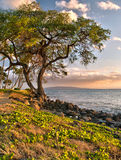 Tree by ocean in Hawaiian sunset Royalty Free Stock Photos