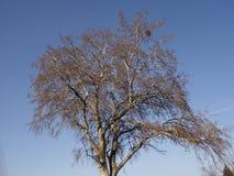 Tree- och blåttsky Arkivbild