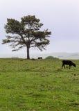 Tree och en ko Arkivbilder