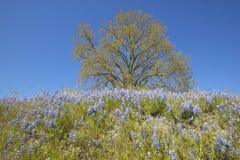Tree och purpura lupineblommor Fotografering för Bildbyråer