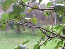 Tree och regn arkivfilmer