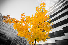 Tree in office building. An autumn tree in office building stock photos