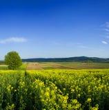 Tree in oilseed rape field Stock Images