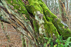 Tree old broken wet fallen the moss on the tree Royalty Free Stock Images