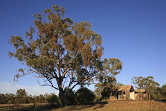 Tree and old Shack. A huge gum tree in front of an old derelict timber house. Outback Australia. Early morning light Stock Photos