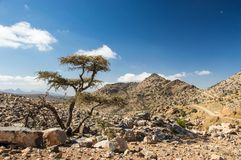 Tree in Omani mountains. Tree with rocky landscape in Omani mountains Stock Photo