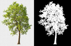 Free Tree On Transparent Background Picture With Clipping Path Royalty Free Stock Photo - 213972555