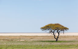 Tree in open field, Namibia Stock Images