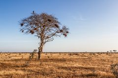 Tree in the open savanna plains Royalty Free Stock Image