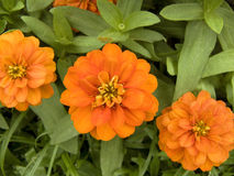 Tree orange color Zinnia Stock Photography