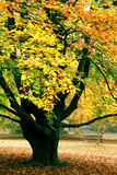 Tree in orange foliage Stock Image